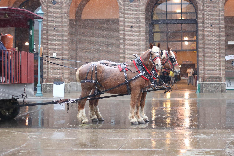 Belgian horses carragie in the rain at the minnesota state fair