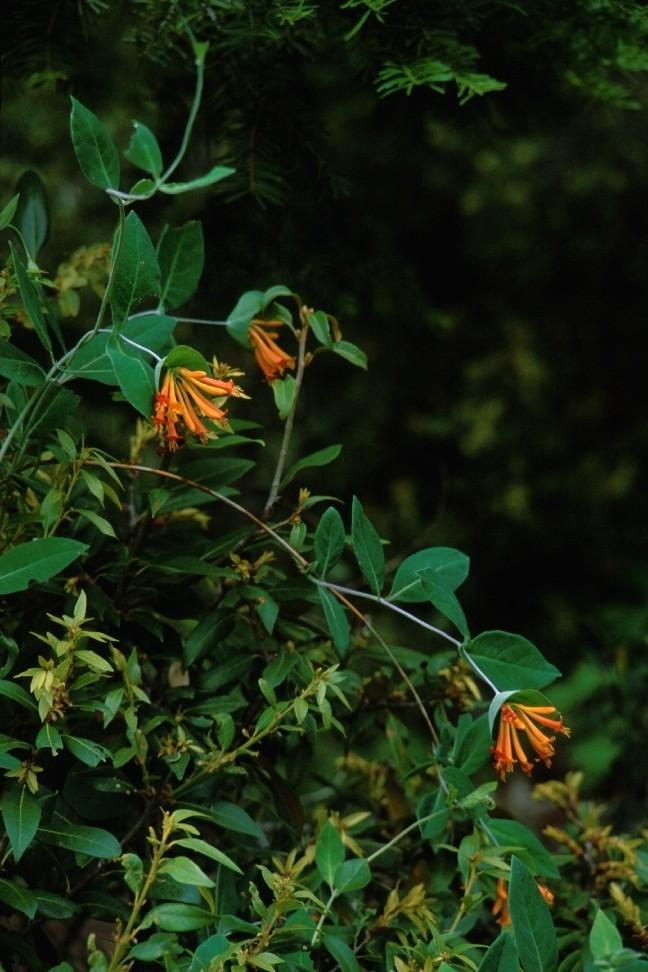 Lonicera ciliosa - orange-flowered honeysuckle