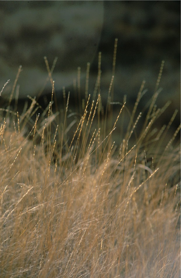 Pseudoroegneria spicata - bluebunch wheatgrass