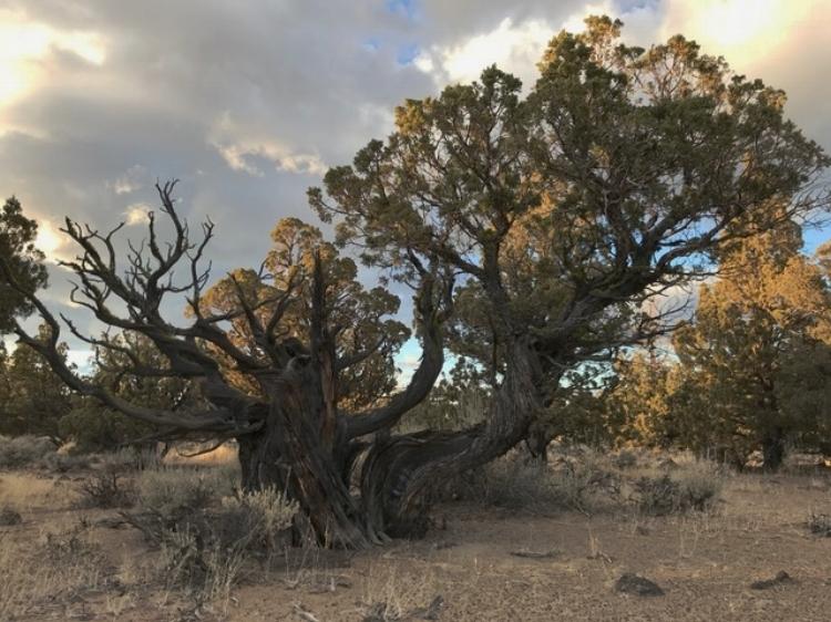 Juniper tree photo.jpg