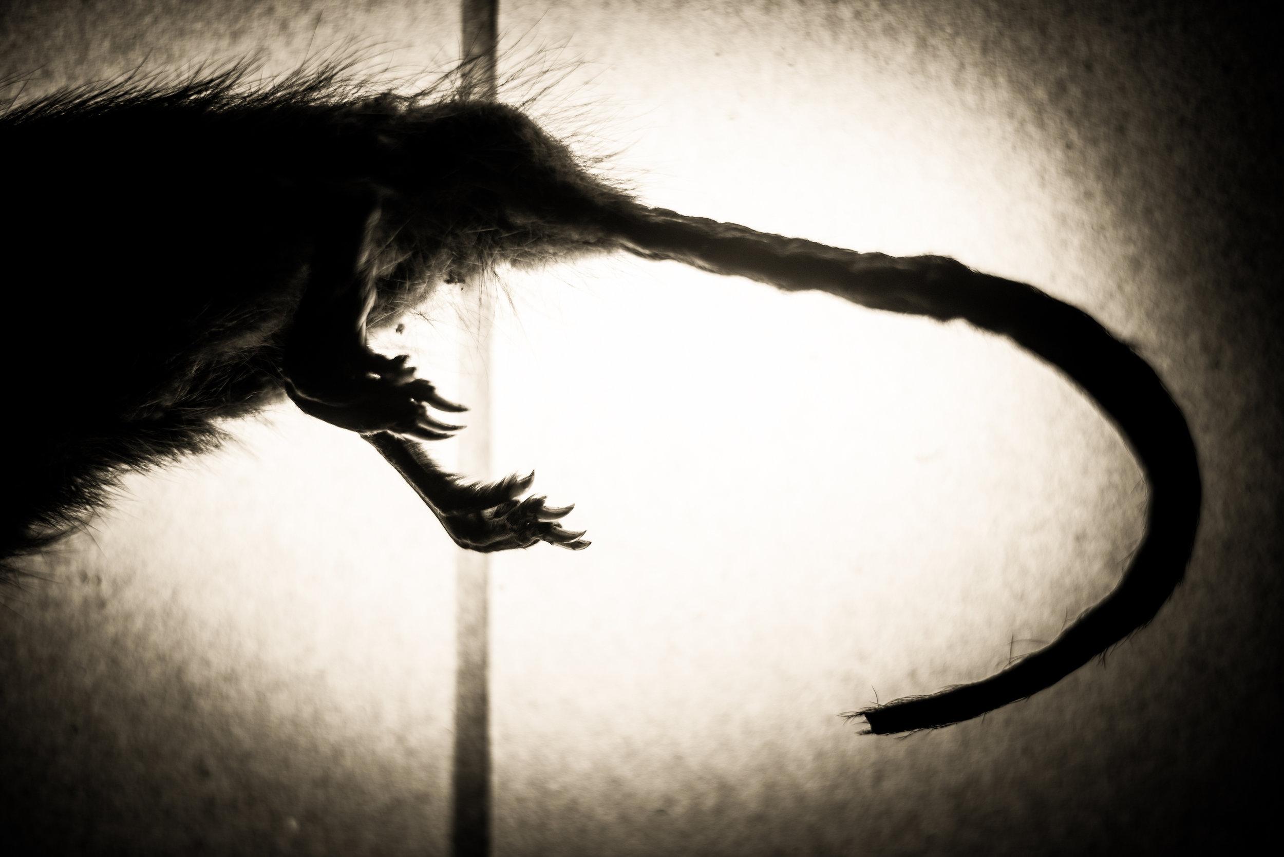 Muridae.jpg