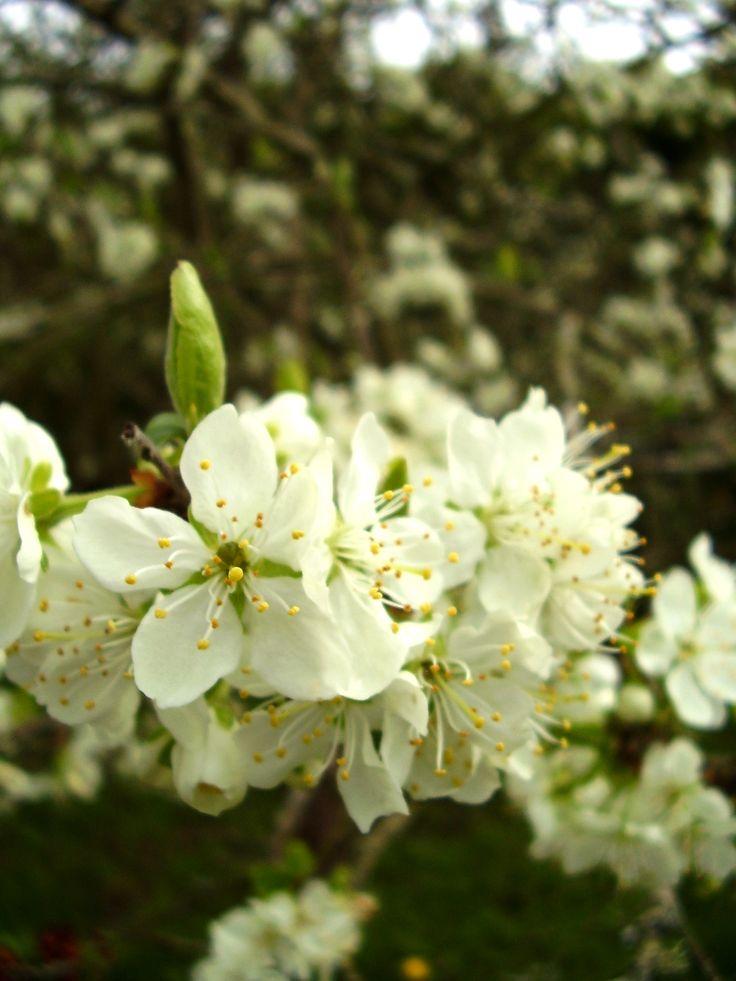 Cherry Blossom at Welcombe Coastal Barn