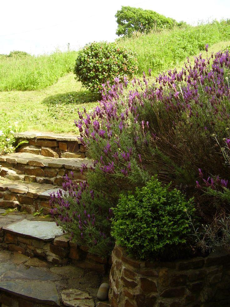 Lavender at Welcombe Coastal Barn