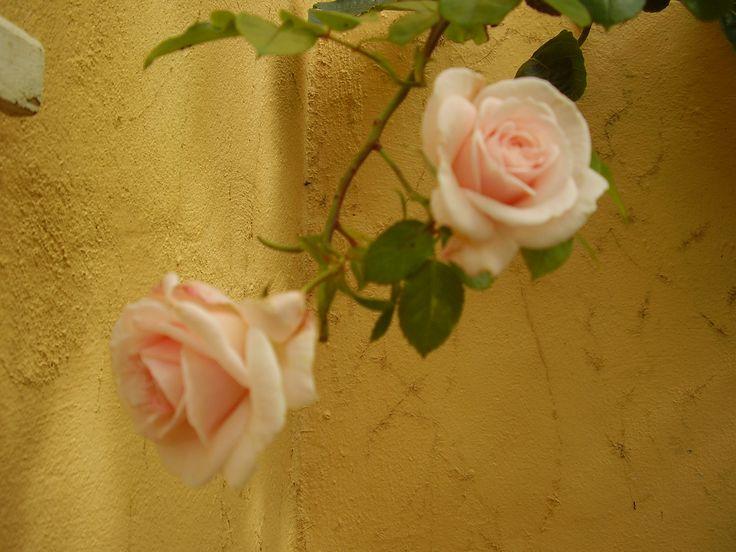 Roses at Welcombe Coastal Barn