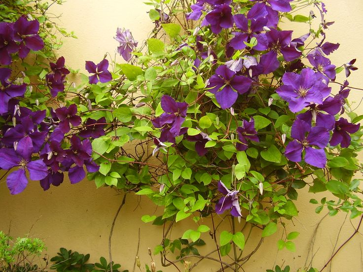 """Clematis """"The President"""" at Welcombe Coastal Barn"""