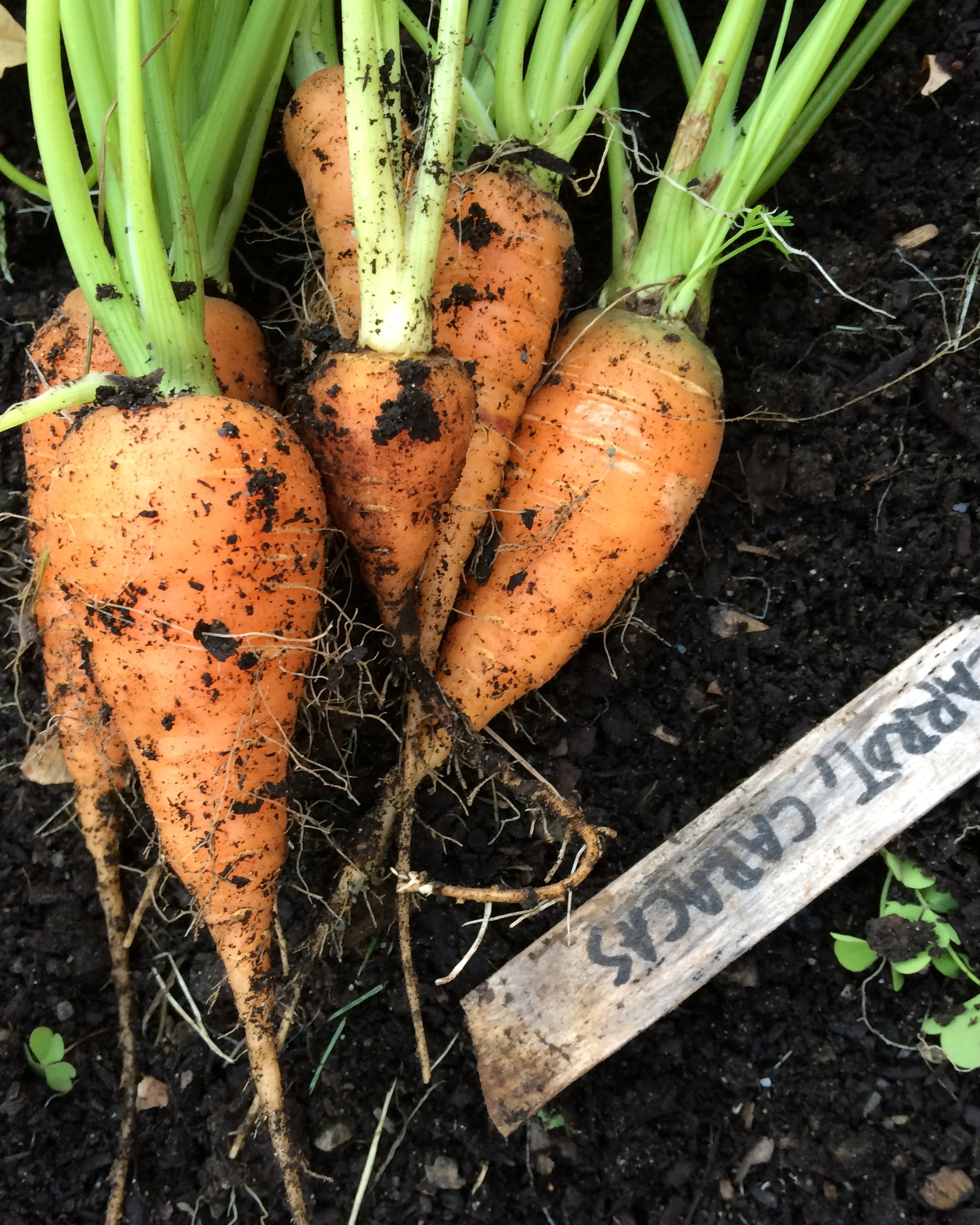 Photo by The Tipsy Tomato. Carrots, sown from Johnny's Selected Seeds, in late summer.