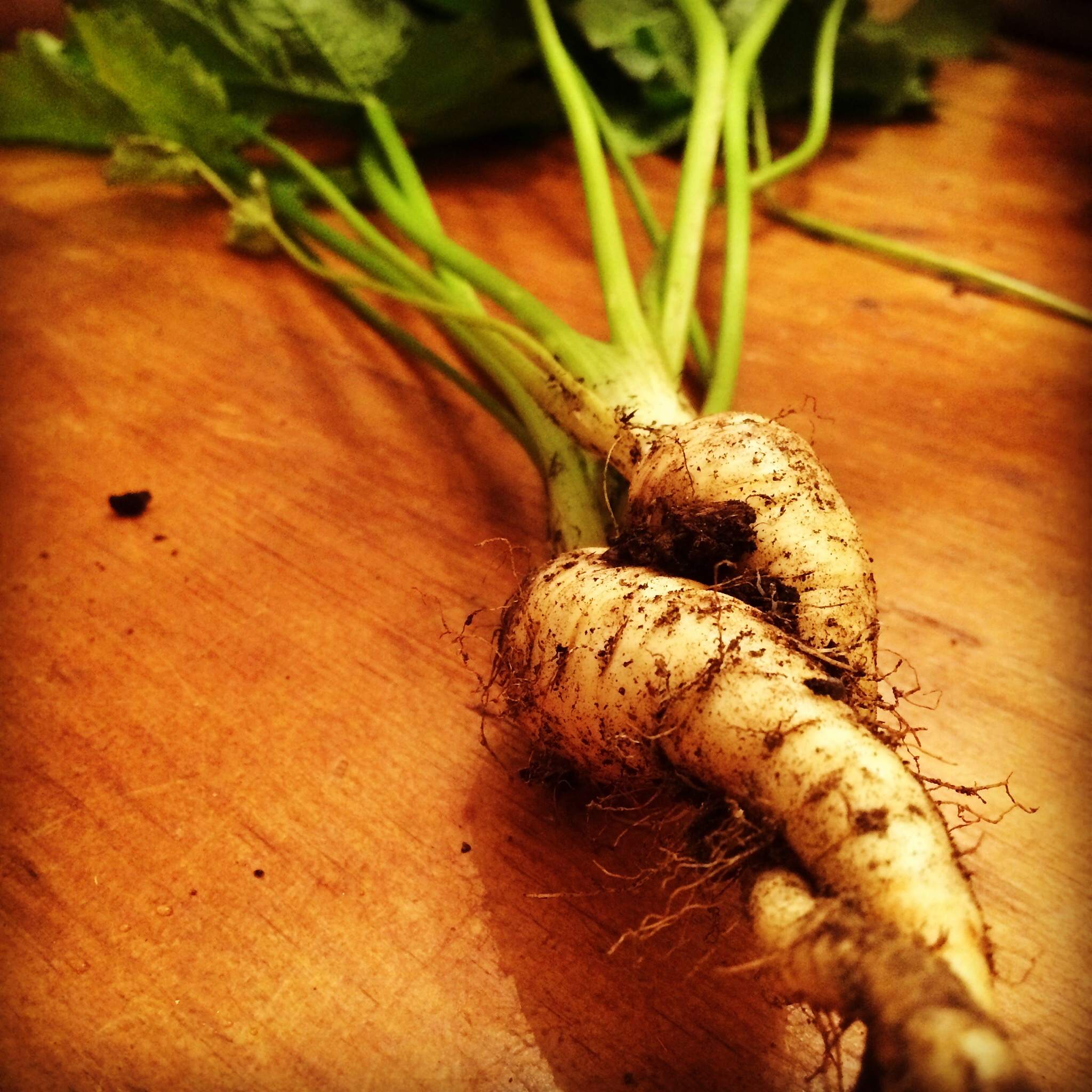 Photo:Embracing, entwined  Lancer parsnips  from The Tipsy Tomato's garden.