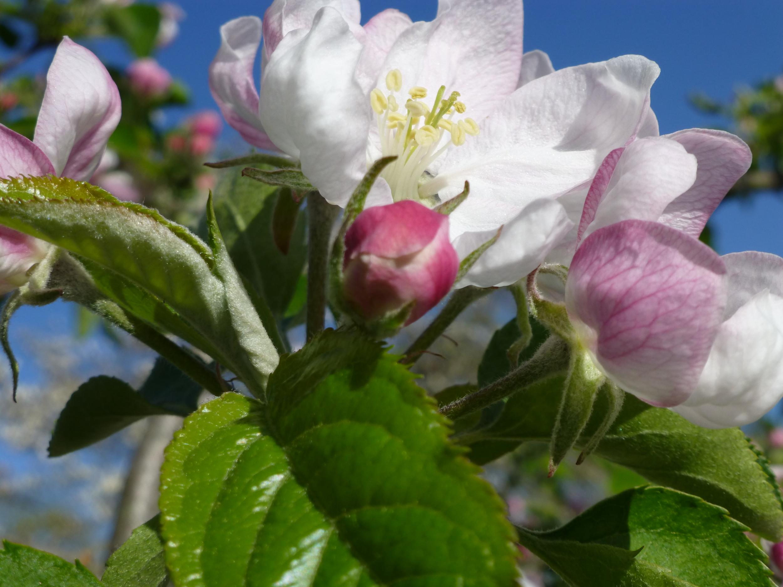 Spring apple blossom in The Tipsy Tomato's orchard