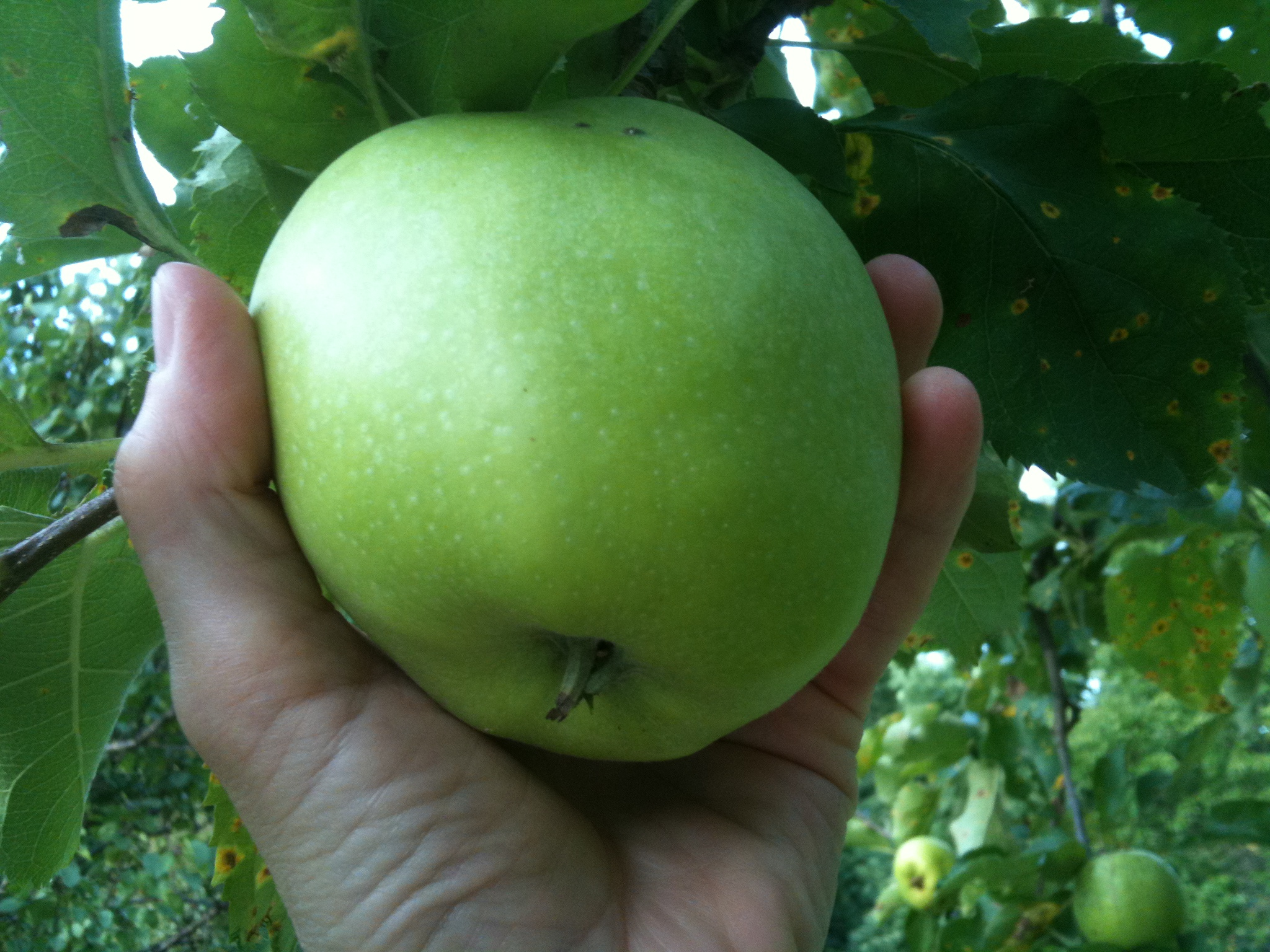 Granny Smith Apple at The Tipsy Tomato orchard