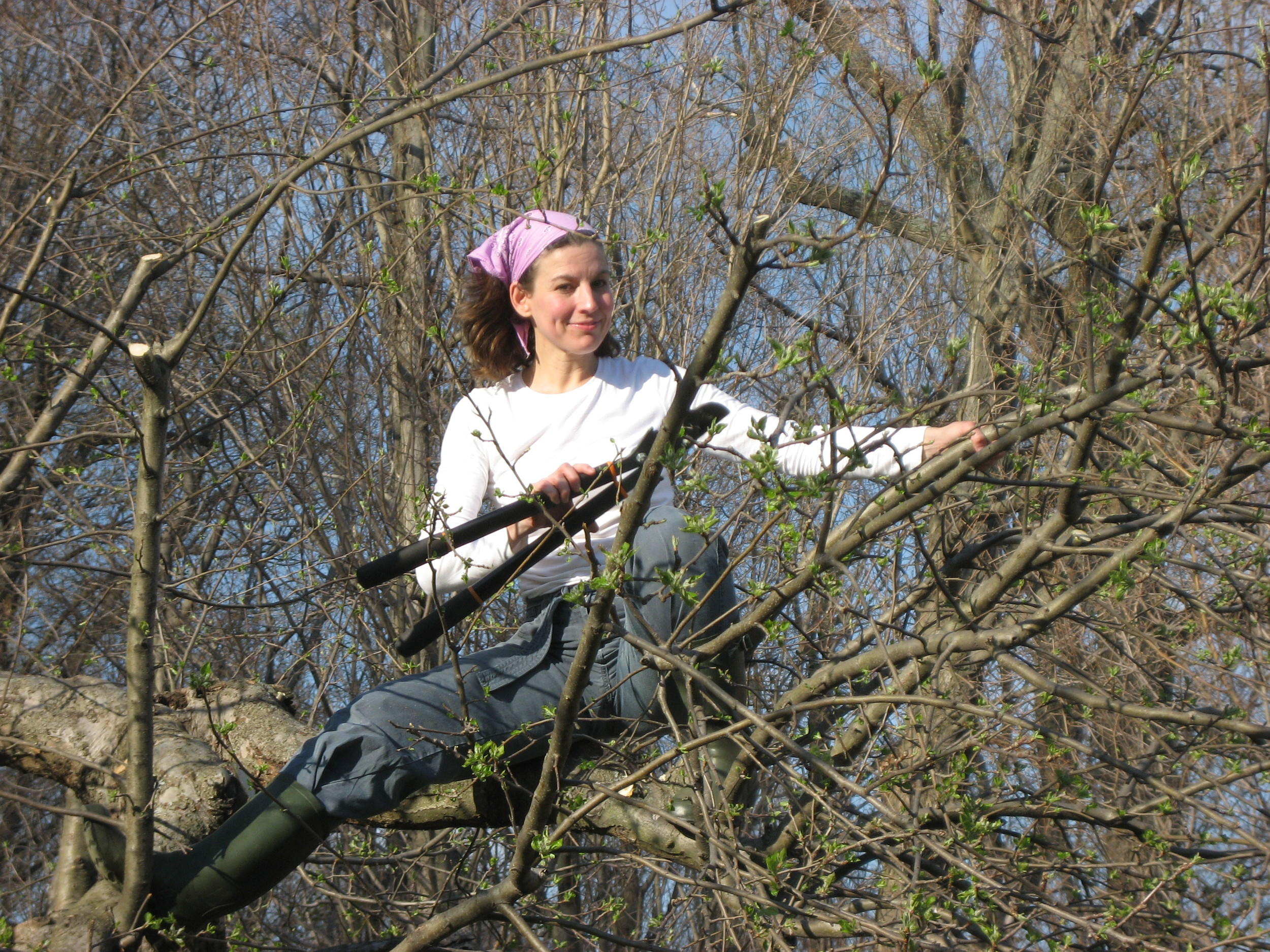 The Tipsy Tomato (obviously before she owned her Eiffel Tower orchard ladder),     restoring   neglected apple trees. Patience: prune no more than one-third of a tree annually.