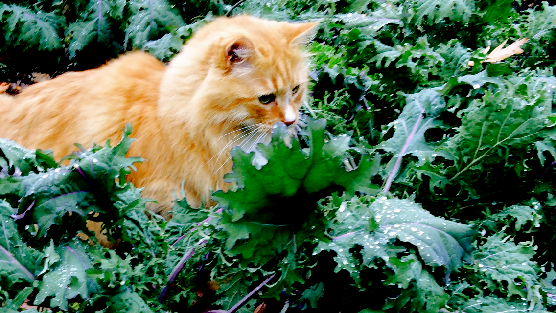 Tumbles, happy in a thicket of morning kale.