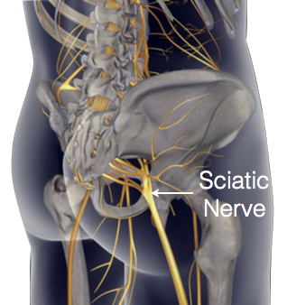 - Sciatic nerve is the largest single nerve in the body, it starts in the lower spine & runs down the back of each leg. It controls the muscles of the back of the knee and lower leg. It also provides sensation to the back of the thigh, part of lower leg & the sole of the foot. It is the longest and widest single nerve in the human body, going from the top of the leg to the foot on the posterior aspect. It is derived from spinal nerve roots L4 through S3.