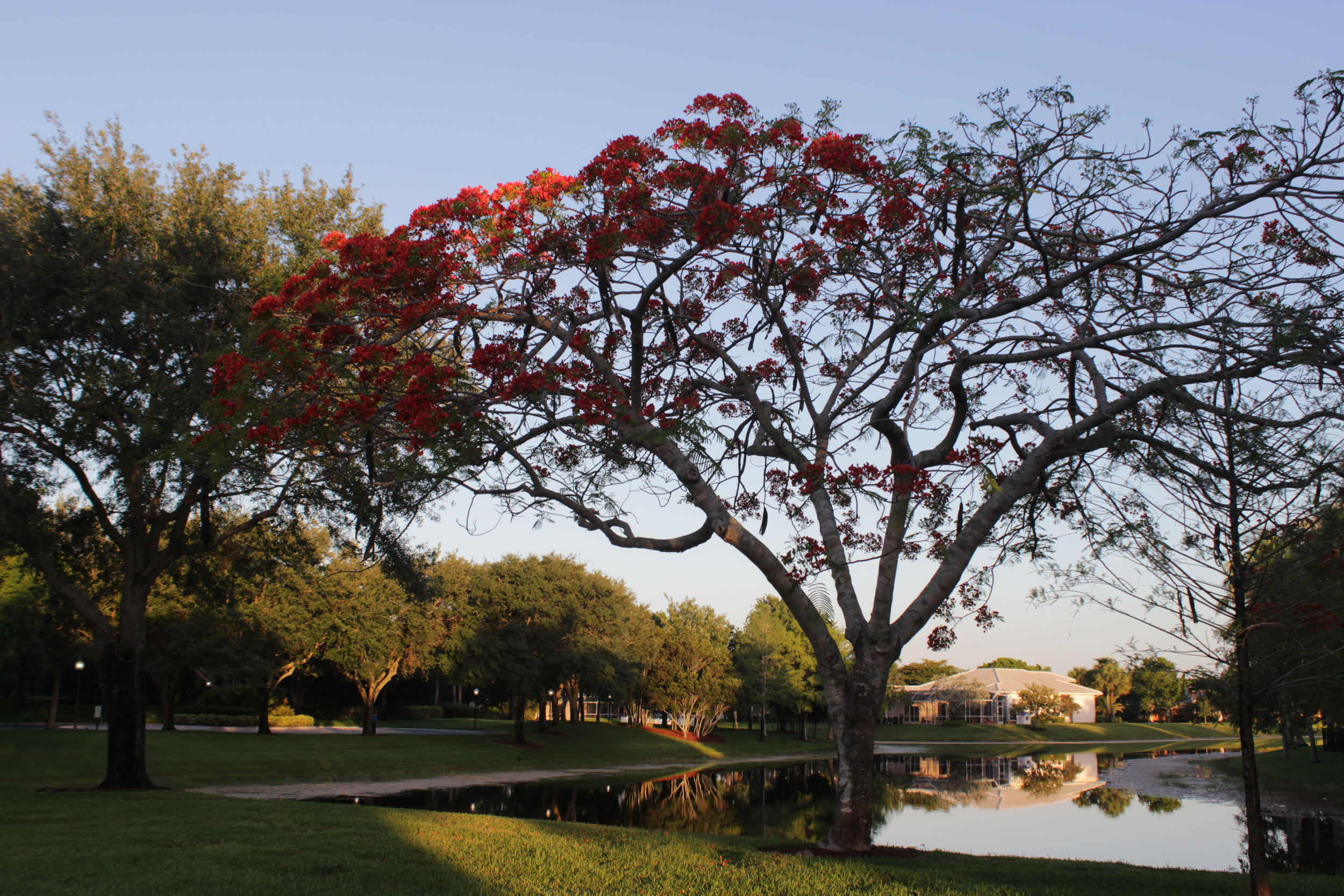 The Royal Poincianas are breaking out into bloom.