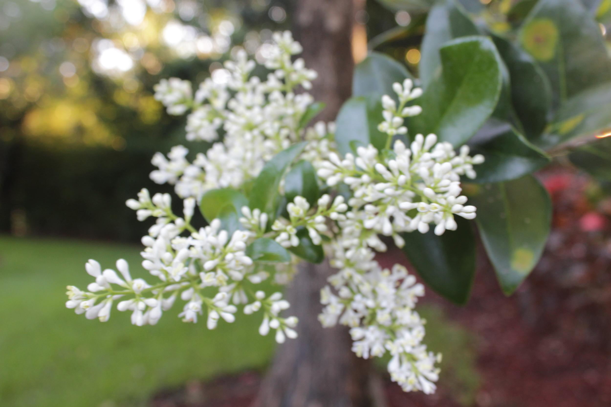 Lilac look-alike, Ligustrum Japonica is flowering around town.