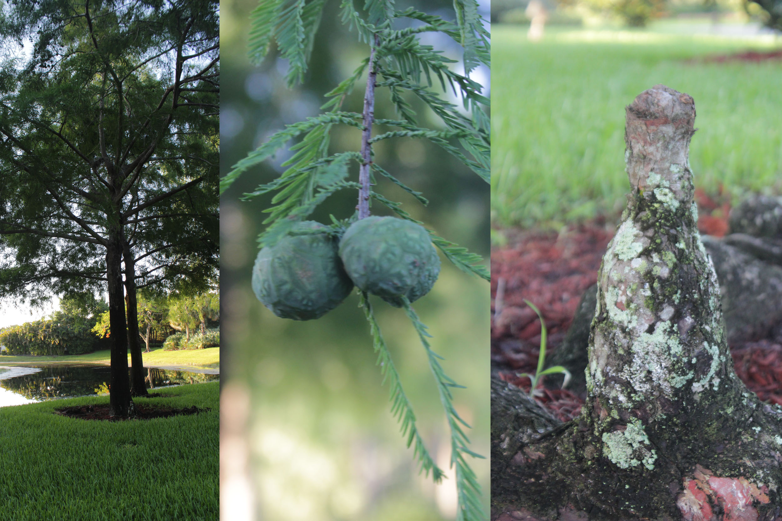 Cypress tree, fruit and knee.