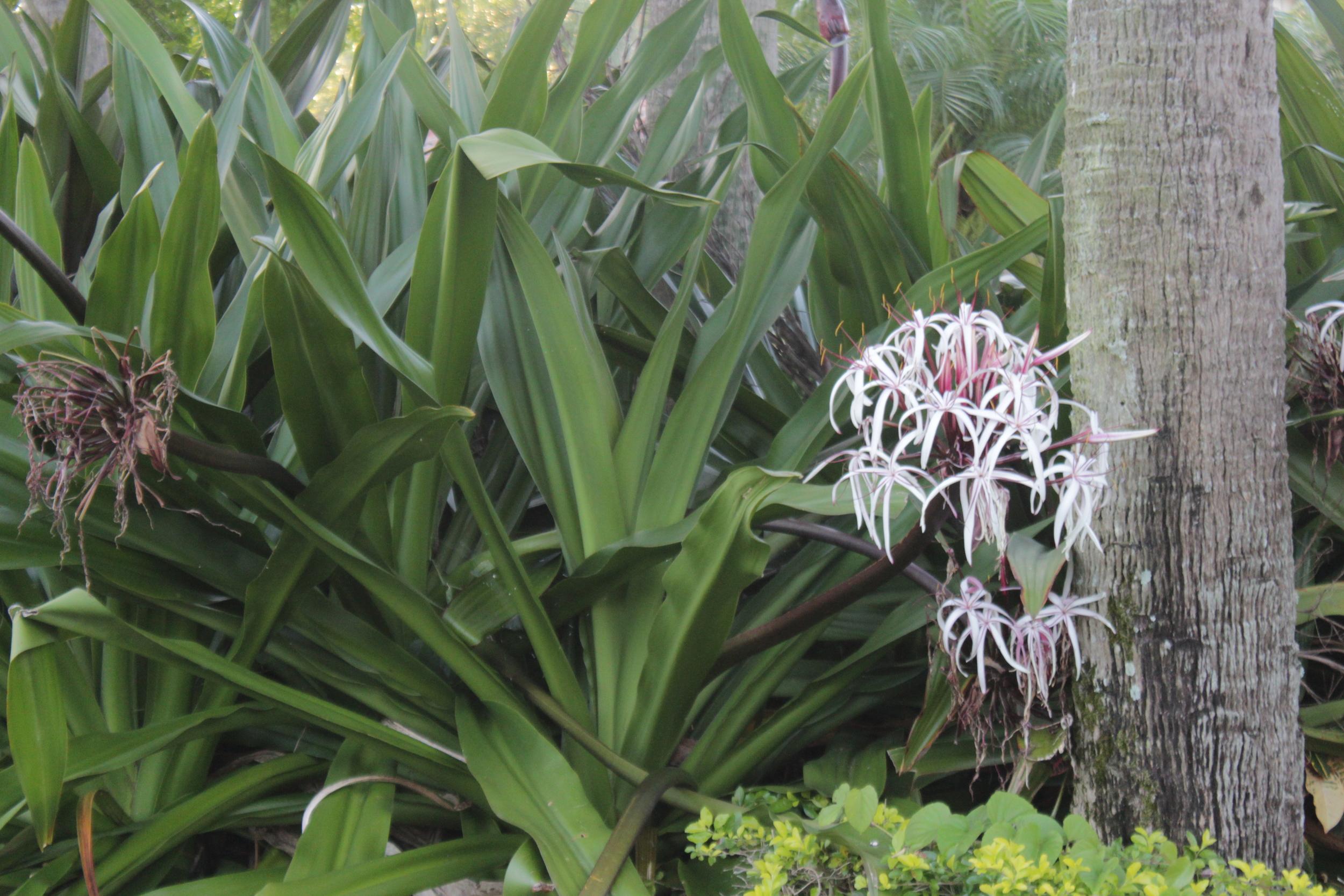 Poisonbulb (Crinium asiaticum) growing large in the landscape.