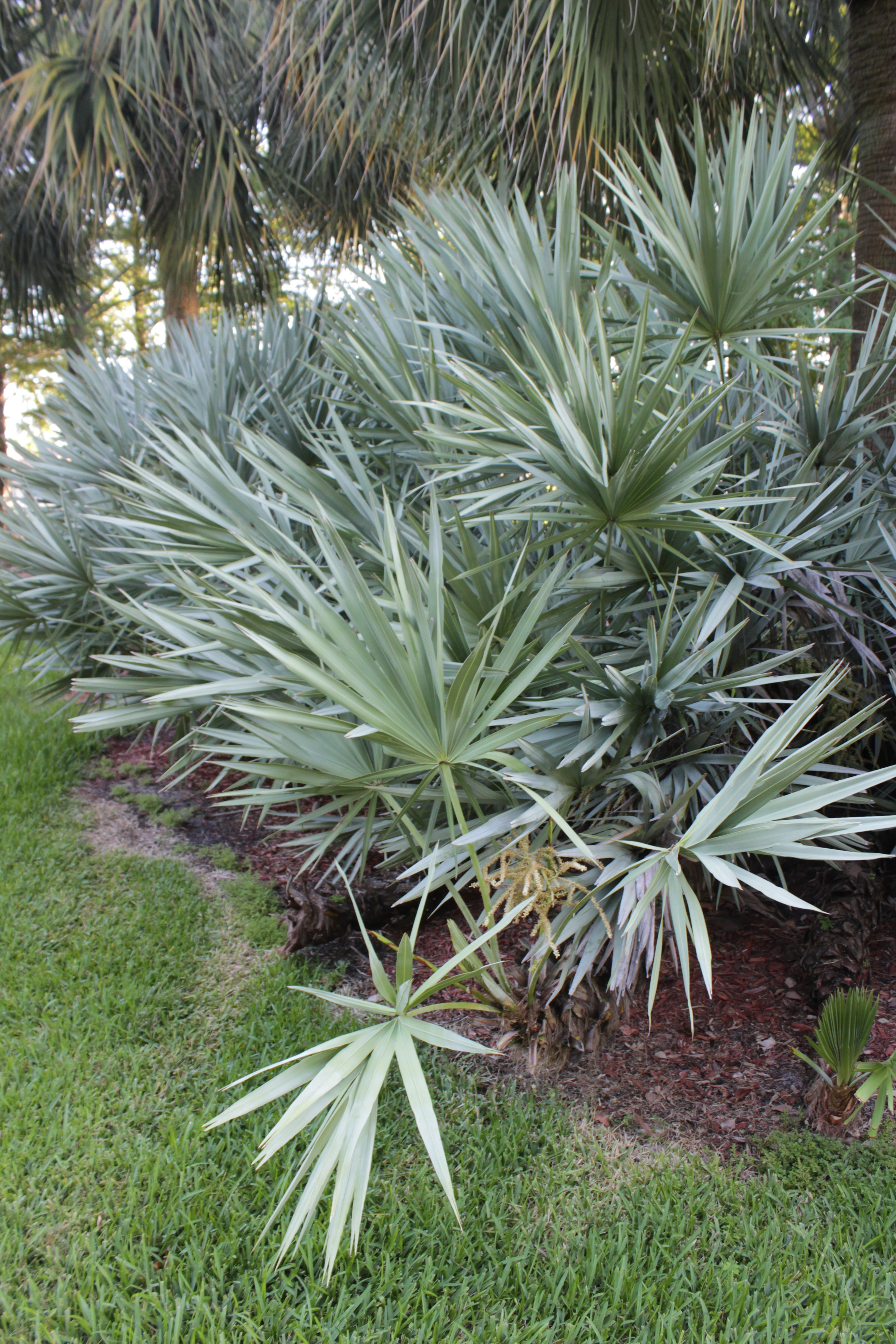 Mounds and mounds of blue-gray, fan-shaped Saw Palmetto abound with their flower panicles arching here and there.