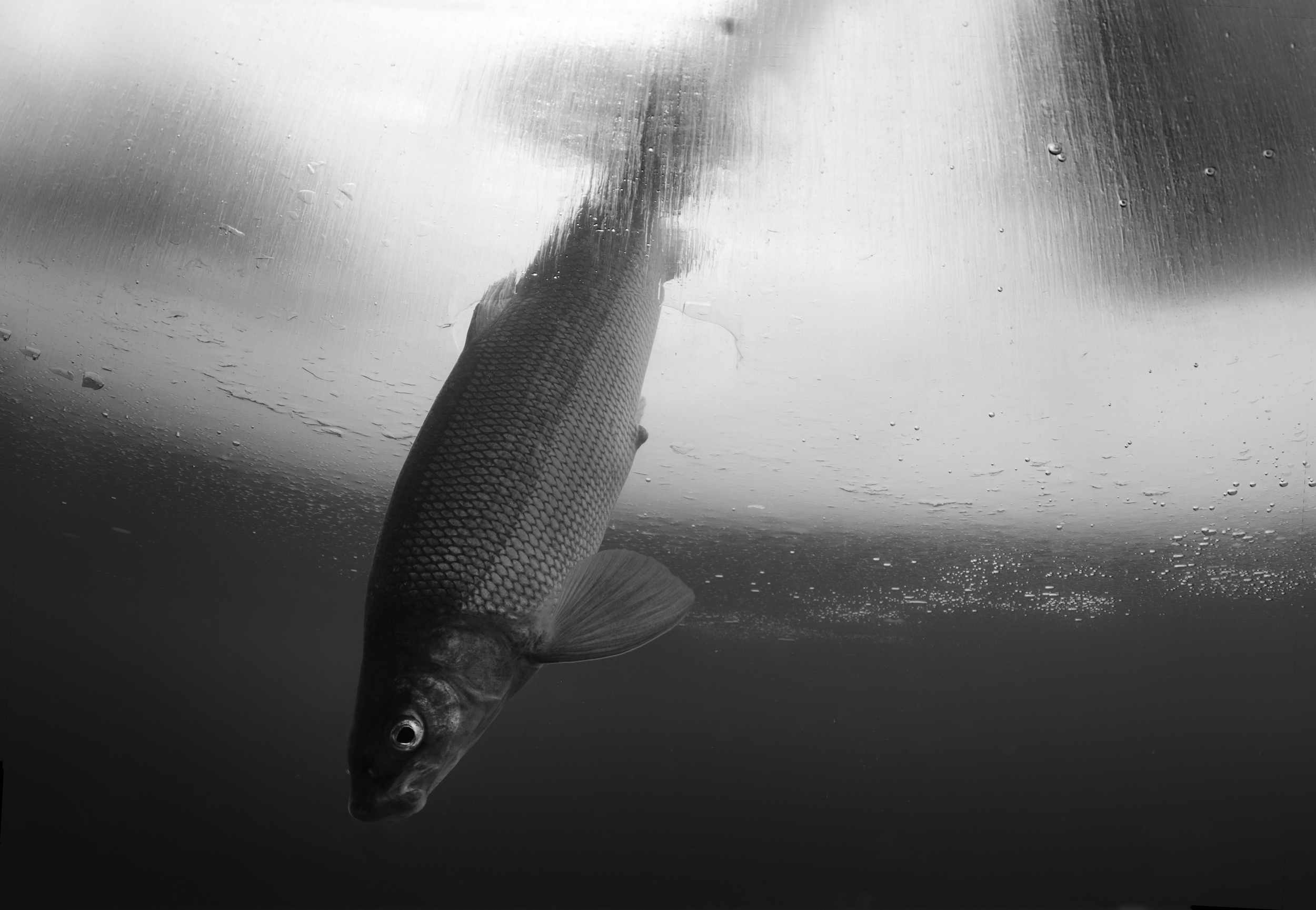 Black & Whitefish