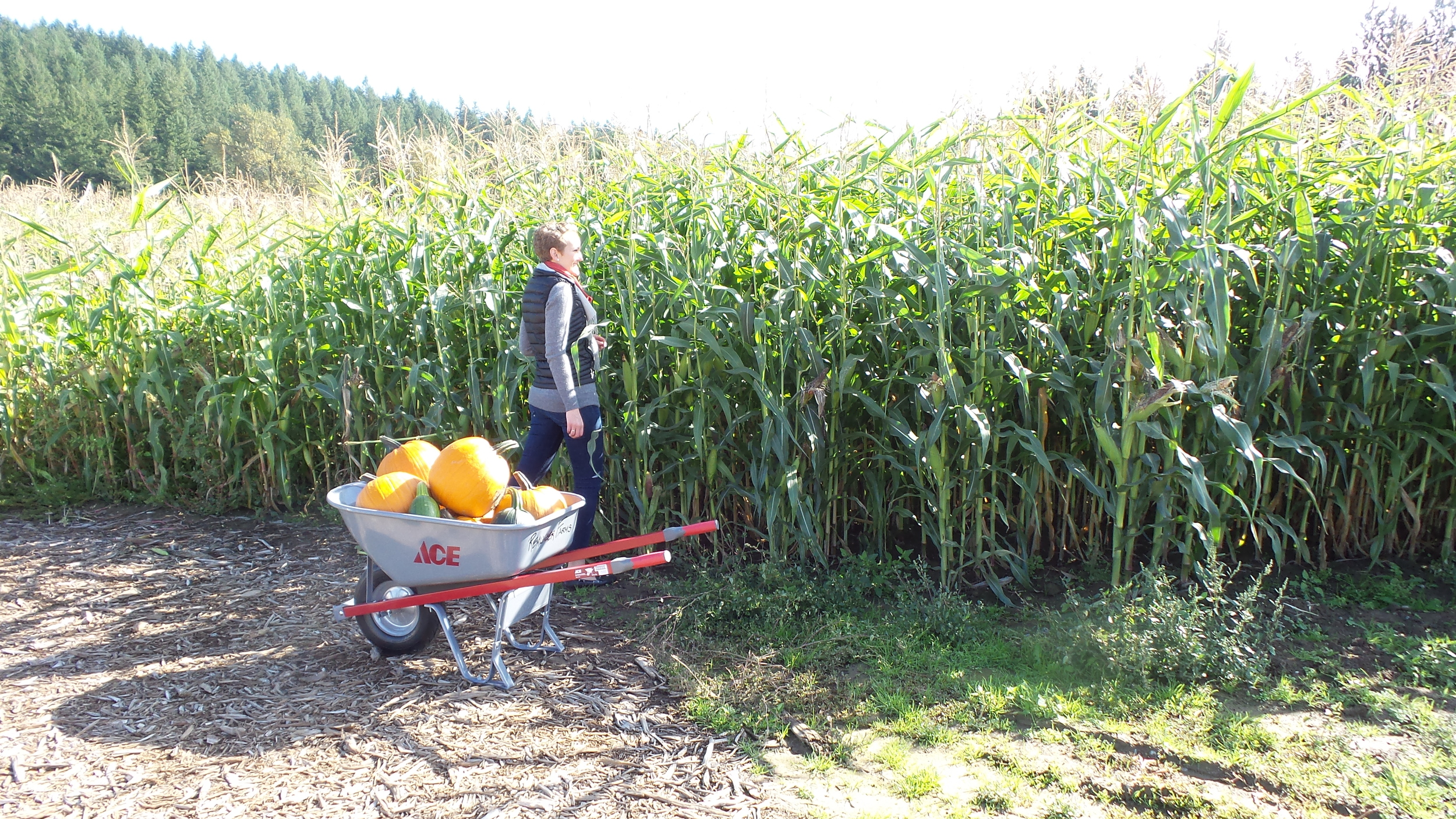 U-pick pumpkins at Remlinger Farms in Carnation, Washington