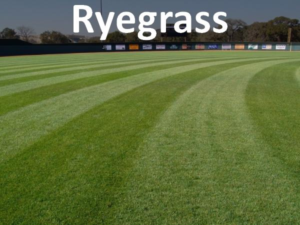 ryegrass-thumb