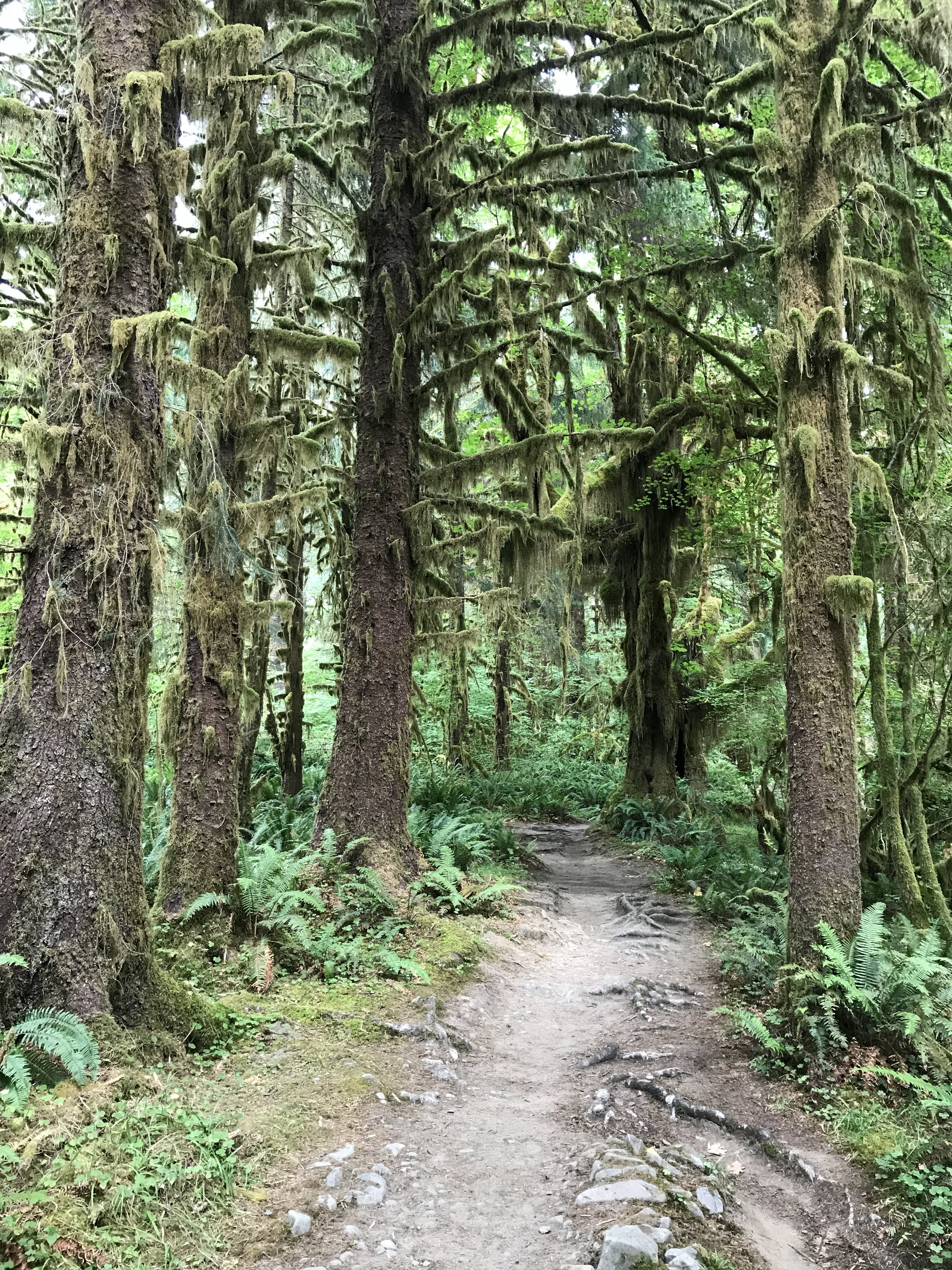 Olympic National Park: Hoh Rainforest.JPG