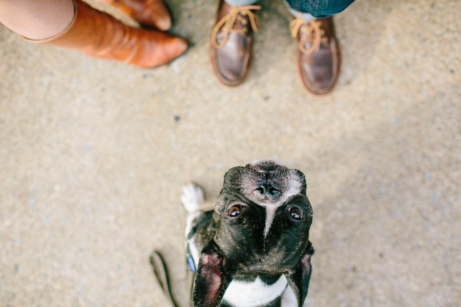 Boston Terrier Engagement session