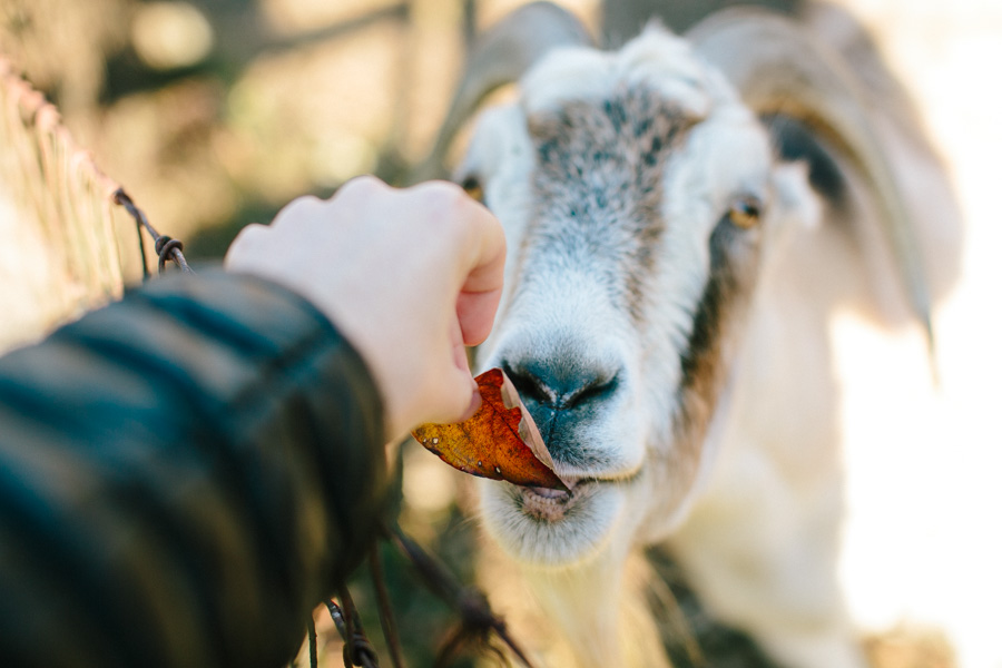 Wedding Goat