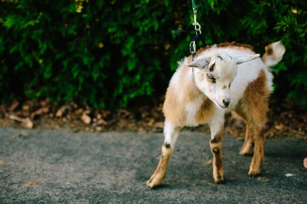 026-wedding-goats.jpg
