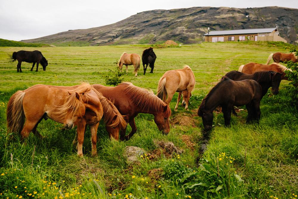 008-icelandic-ponies.jpg