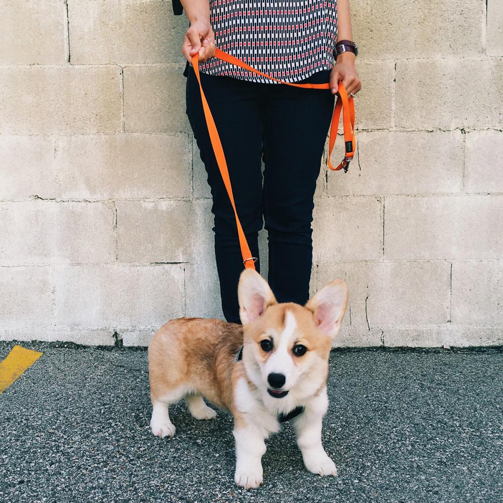 019-corgi-puppy.jpg