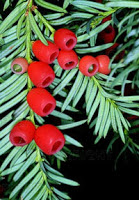 yew-with+berries.jpg