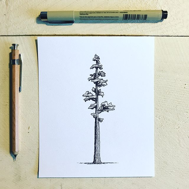 A little giant . . . . . #calvertillustrations #illustration #illustrator #drawing #sketch #design #sequoia #sequoiatree #handdrawn
