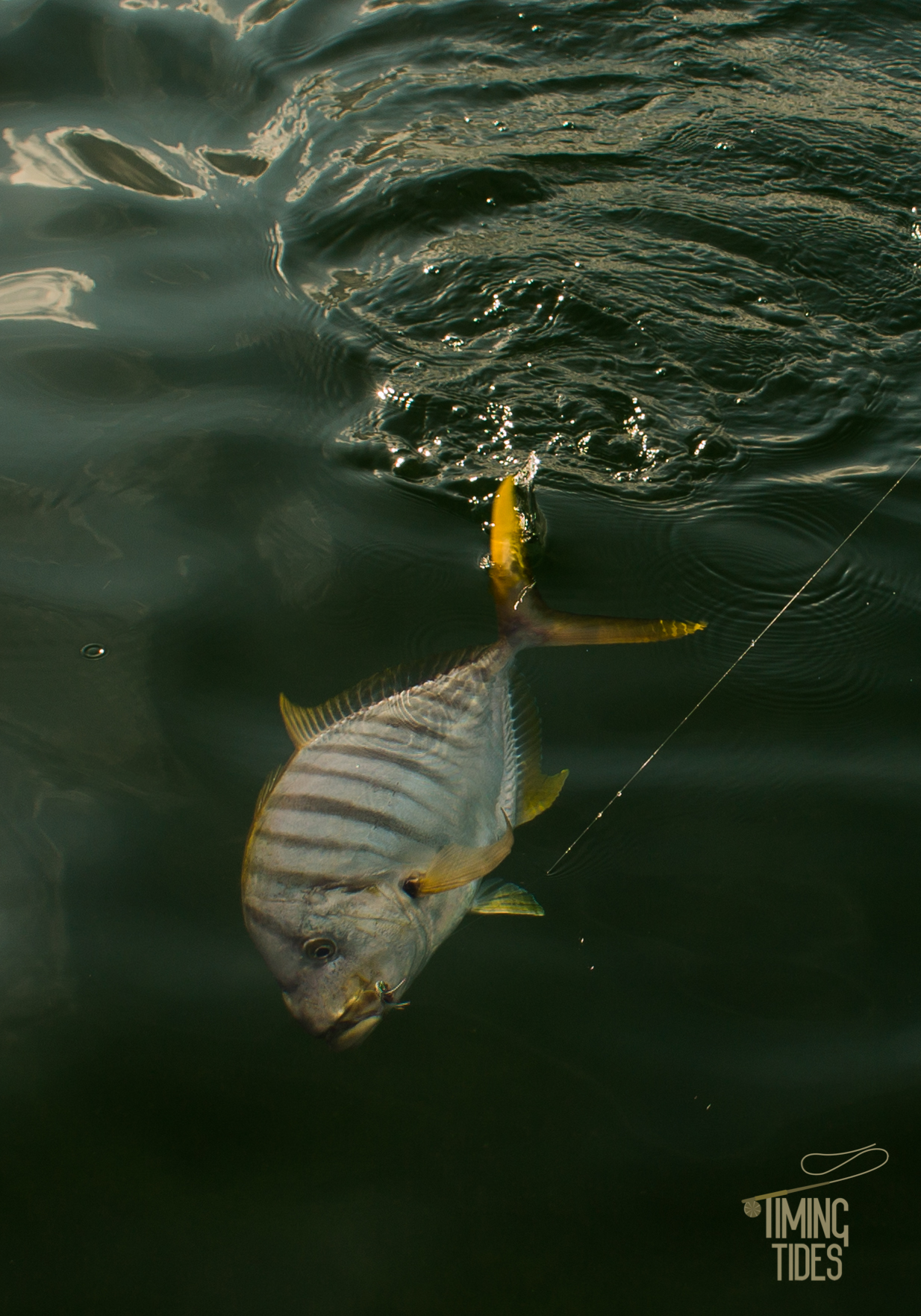 Golden-Trevally-4.jpg