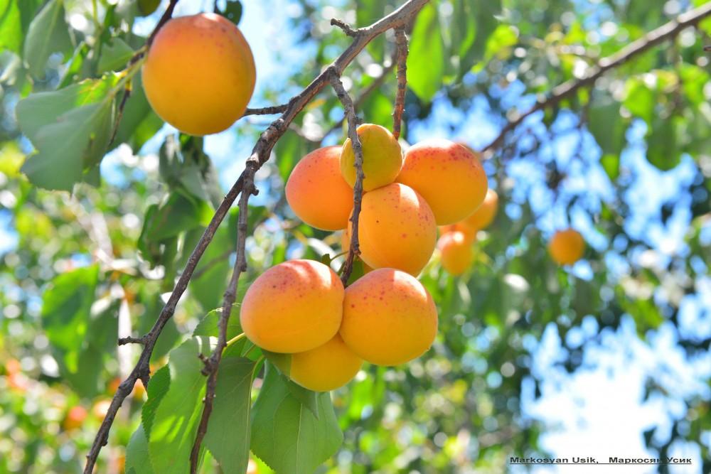 На абрикос и смотреть приятно. Словно сотни тысяч маленьких солнц загораются в летних армянских садах.