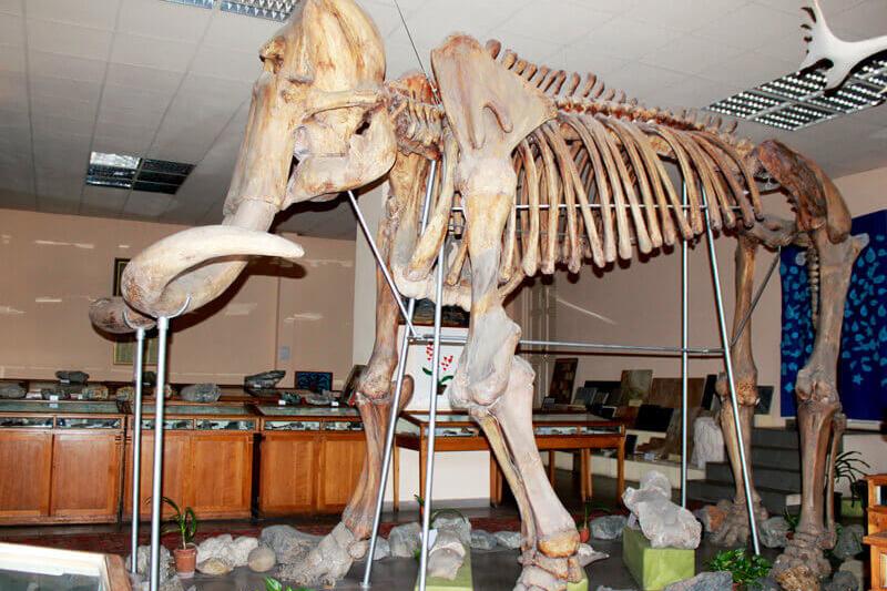 В Геологическом музее выставлен отреставрированный скелет ископаемого слона. Он найден в гравелистых песках окрестностей города Гюмри, у местечка Казачий пост. Фото:  yerevancard.com