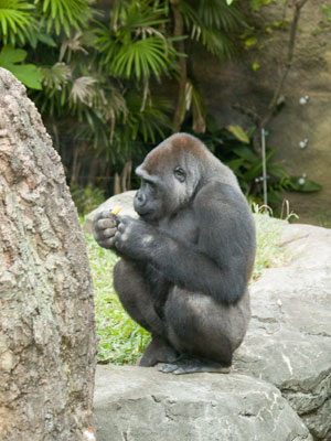 Mountain Gorilla in Ueno Zoo