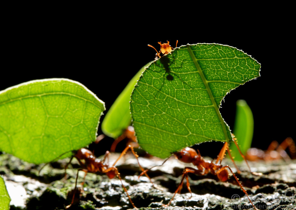 Images coming soon! in the meantime, here are the study organisms,   Atta cephalotes   ants. Image credit Alex Wild www.alexanderwild.com