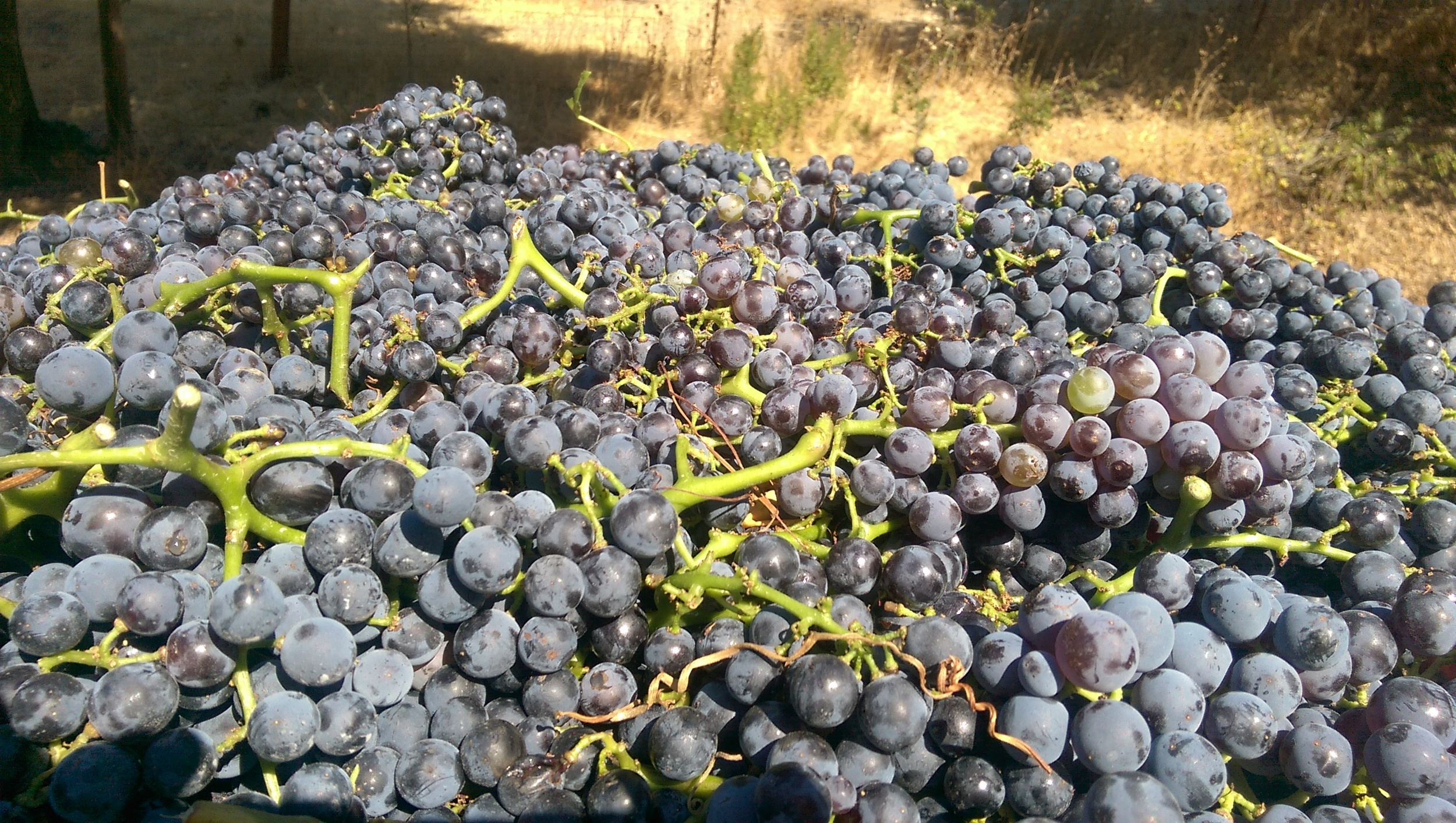 Whole clusters of Grenache