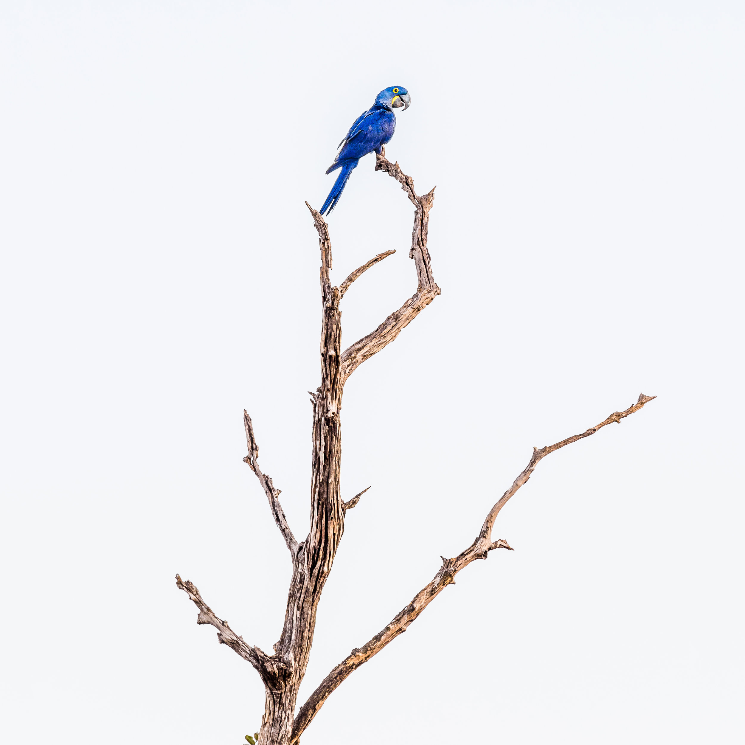 MK macaw 7010674 square.jpg