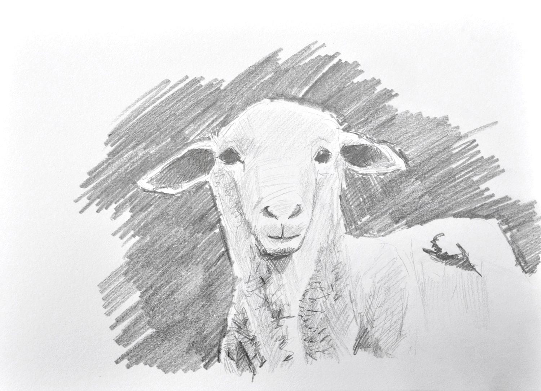 Sheep-May8th-1500px.jpg
