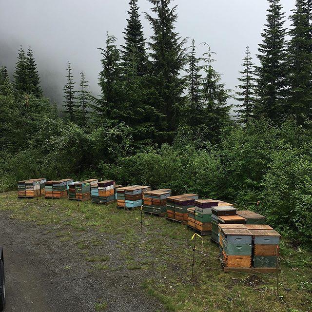 #Alpineflower . . . . . . #cascades #beeworksfarm #honey #beekeeper #honeybees #nature #beesofinstagram #bee #PNW #Bellingham #farmlife #rawhoney #savethebees #honeybee #honeycomb #beelove #beekeeping #lovenature #eatrealfood #rawfood #food52 #saveur #bonappetite