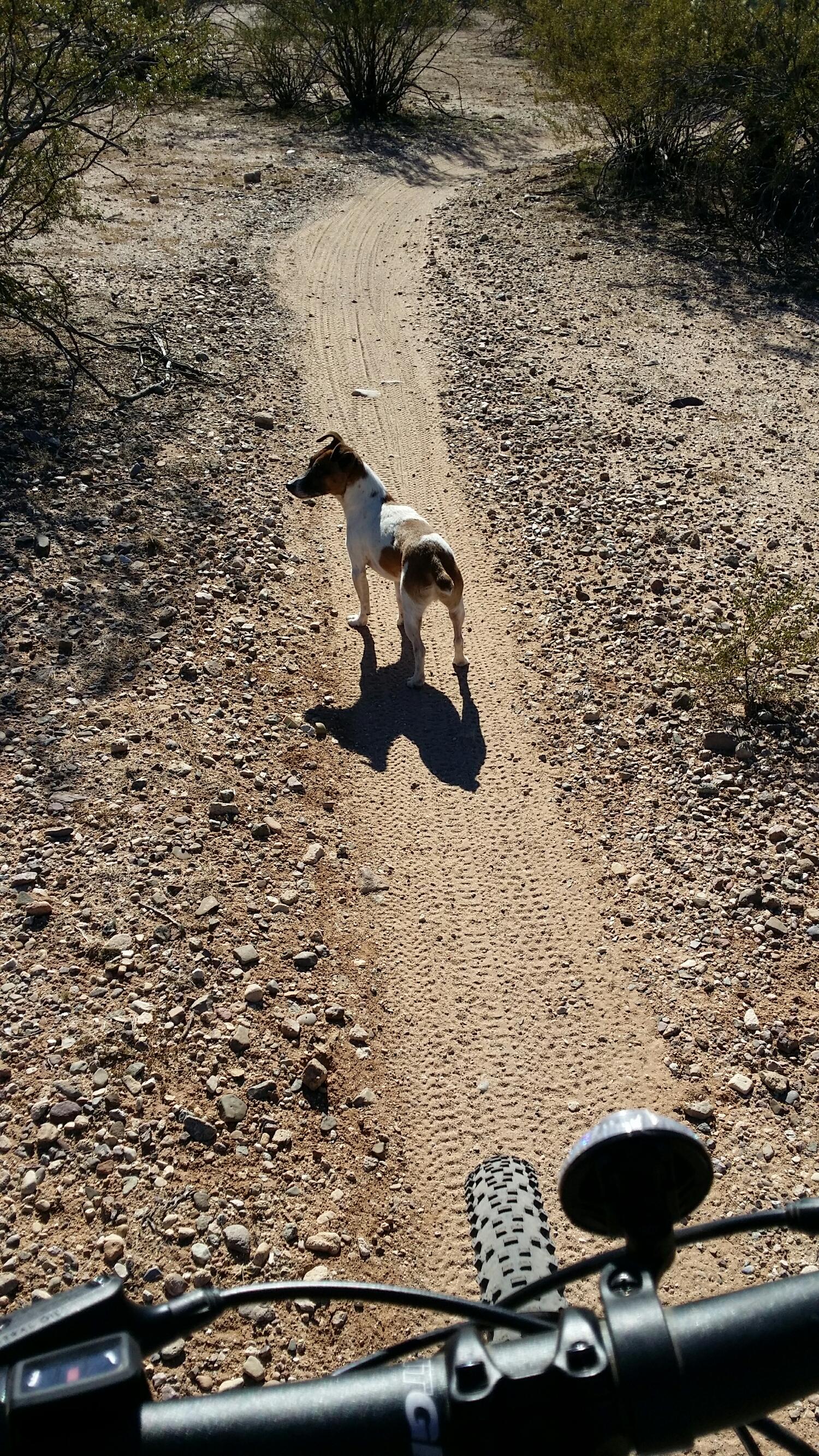 Milo, the Jack Russell Terrier, enjoying an off leash bike ride.