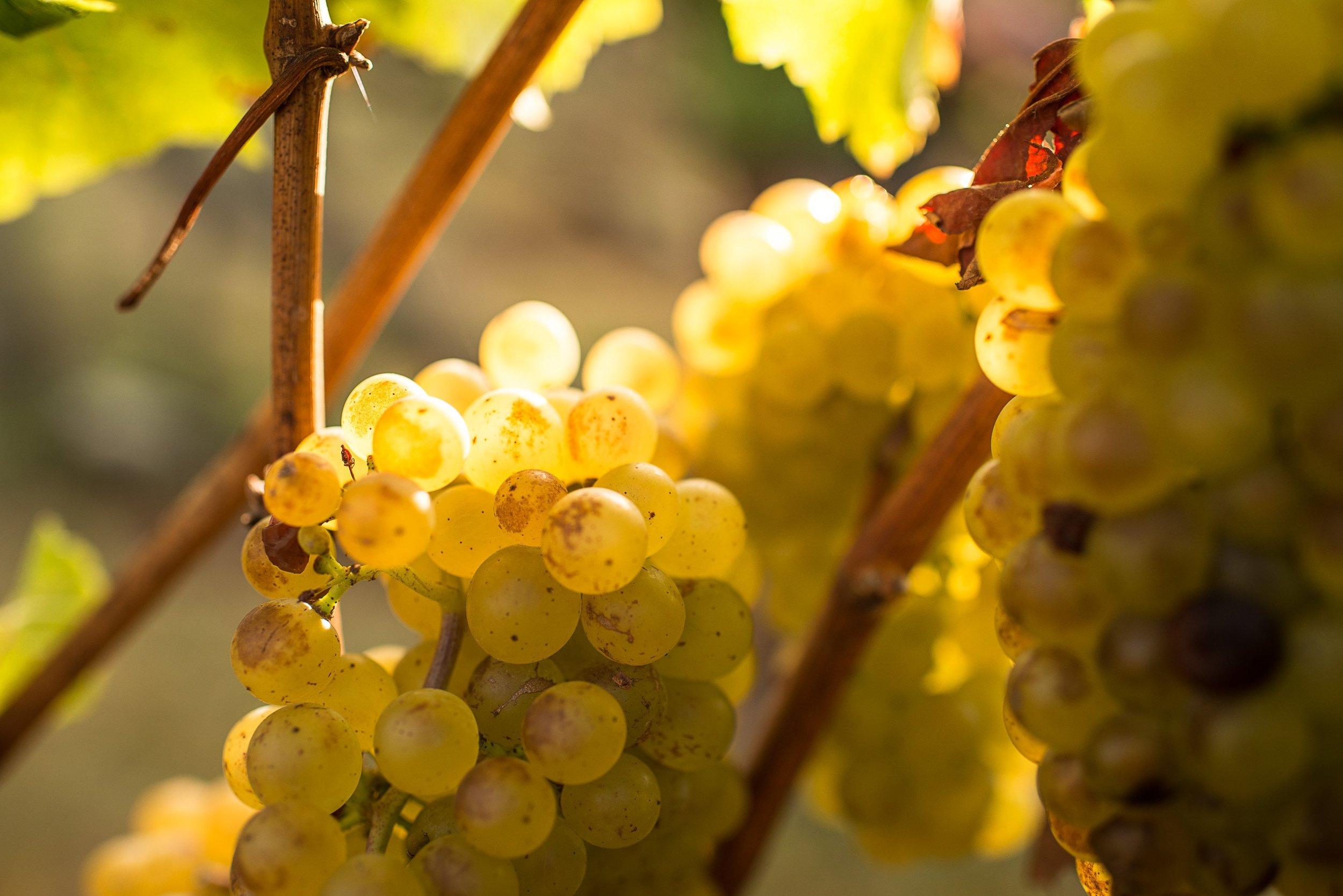 Vidal_Chardonnay_ae84d439-fe17-410c-a52b-29b0765b51f9.jpg