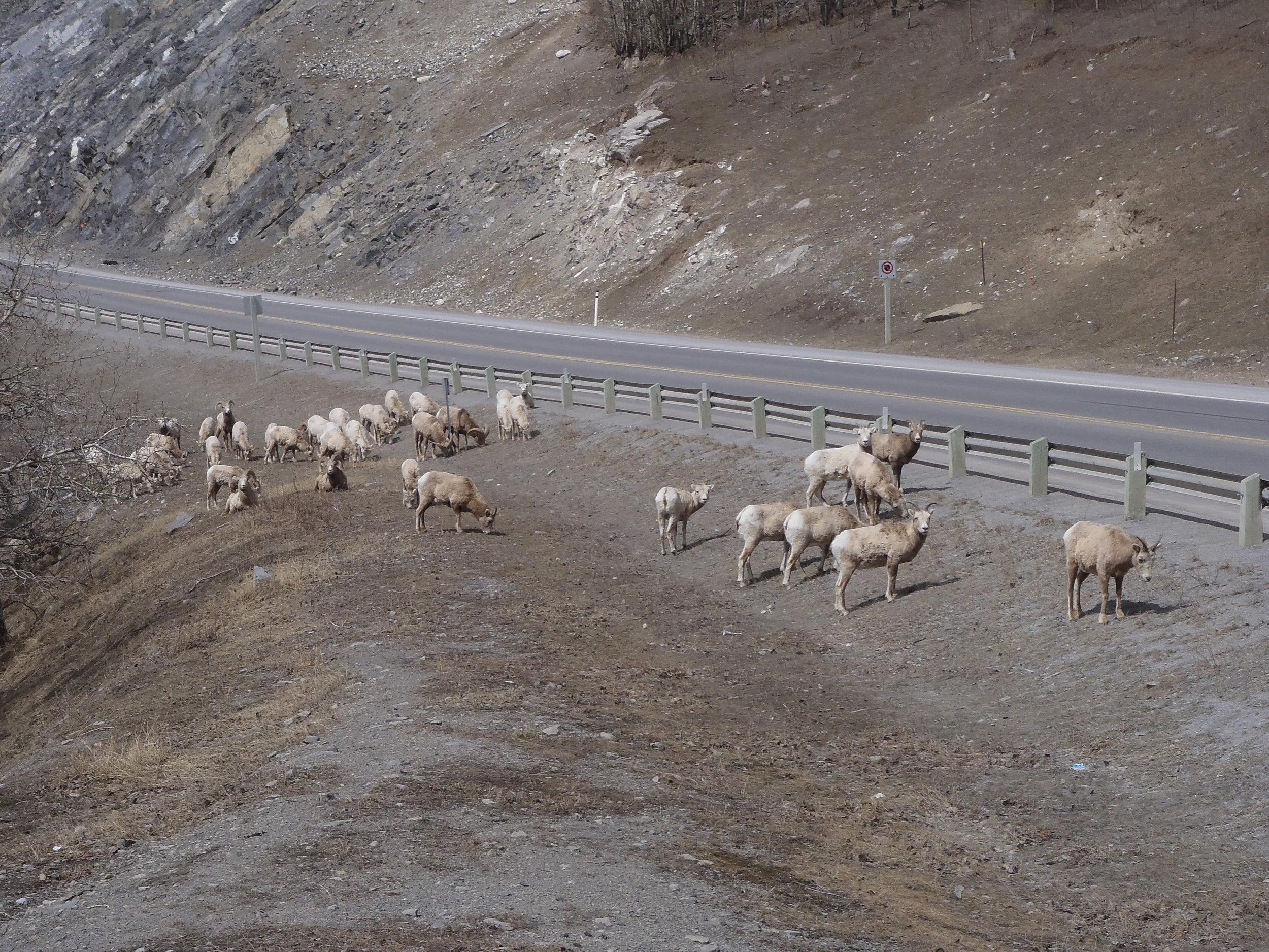 Sheep during a Banff adventure tour