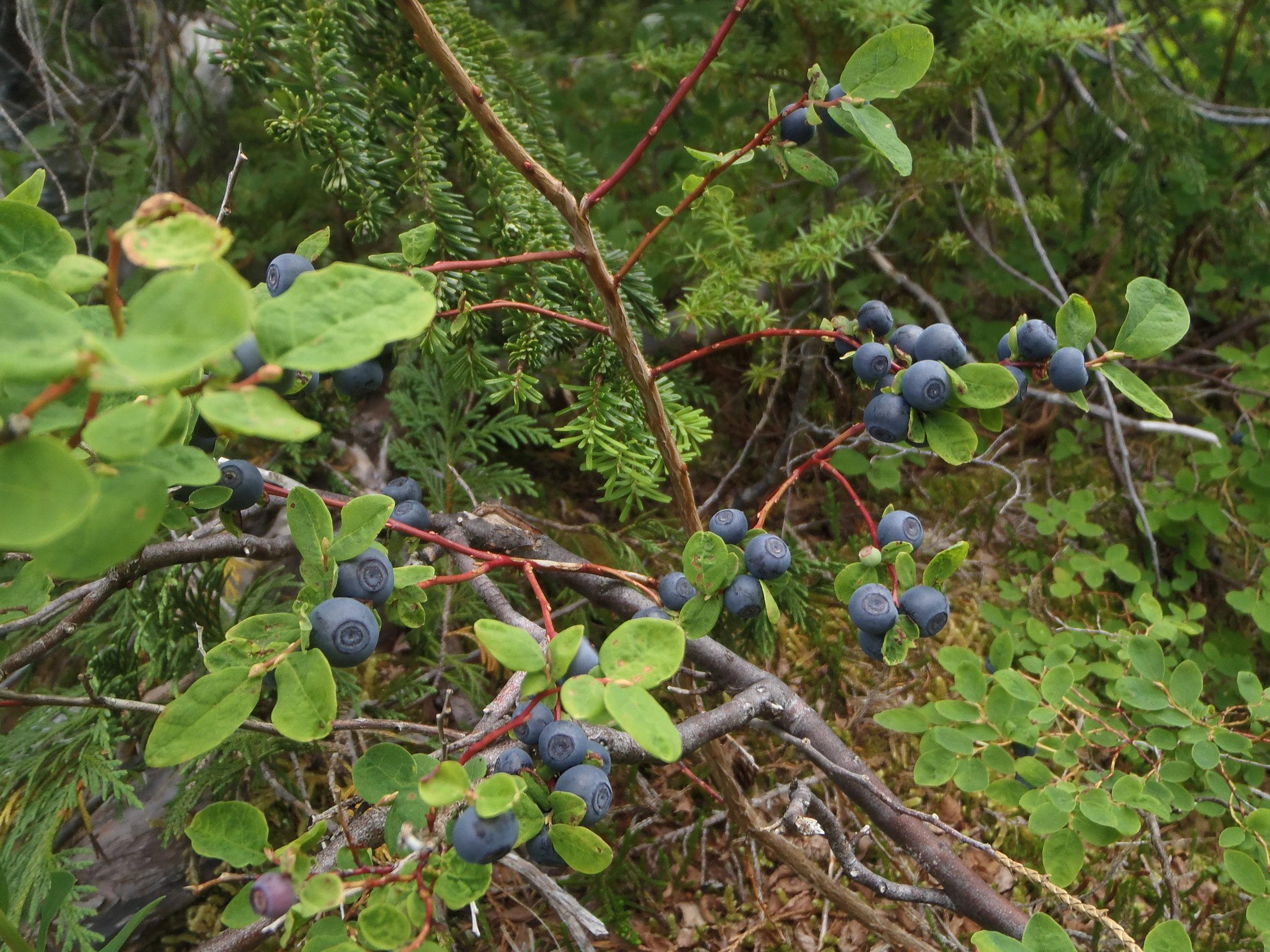 Edible berries during an adventure in the Rockies