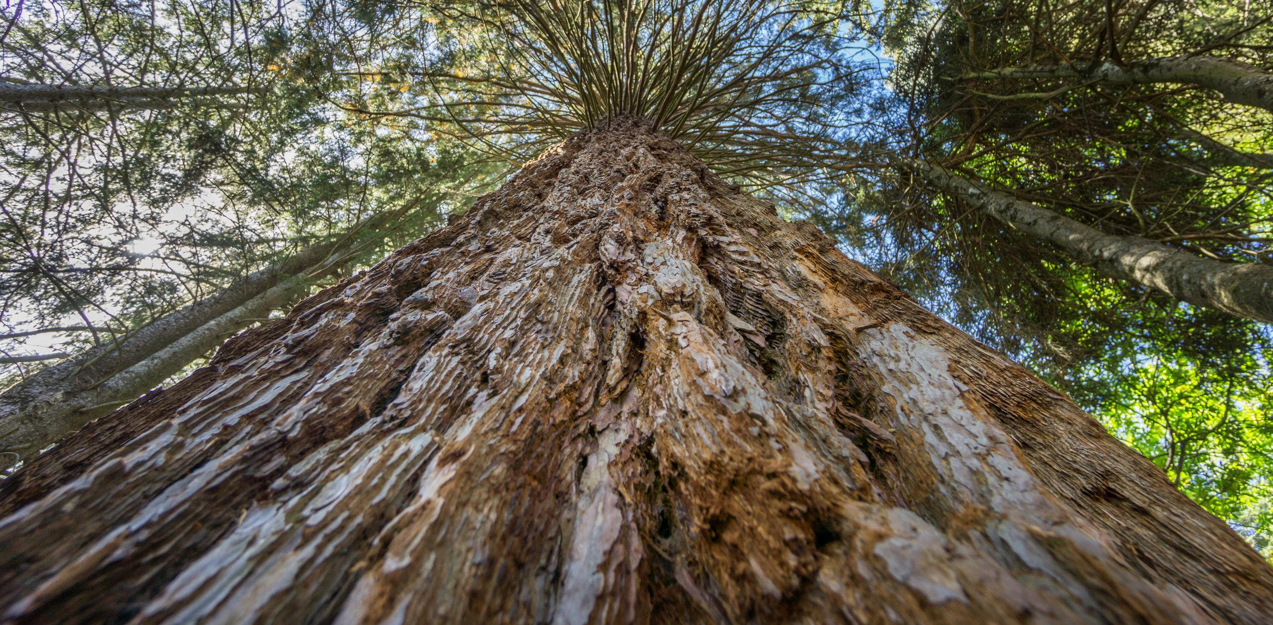 giant tree.jpg