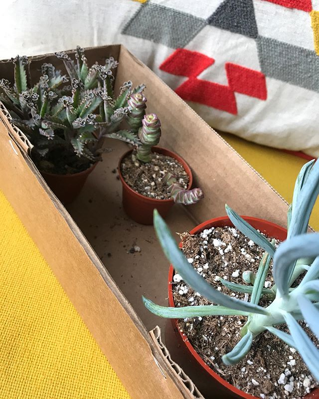 If you're looking to up your #succulent game, go immediately to @grayesgreenhouse. So. Many. Plants.  #motherofthousands #stringofbuttons #bluechalksticks