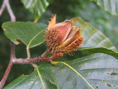 American Beech Seed.jpg