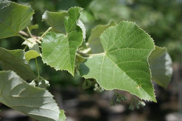 Silver Linden Leaf.JPG