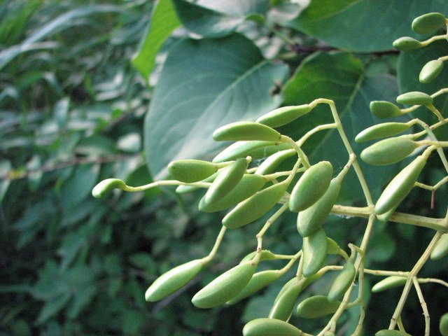 Japanese Lilac Seed